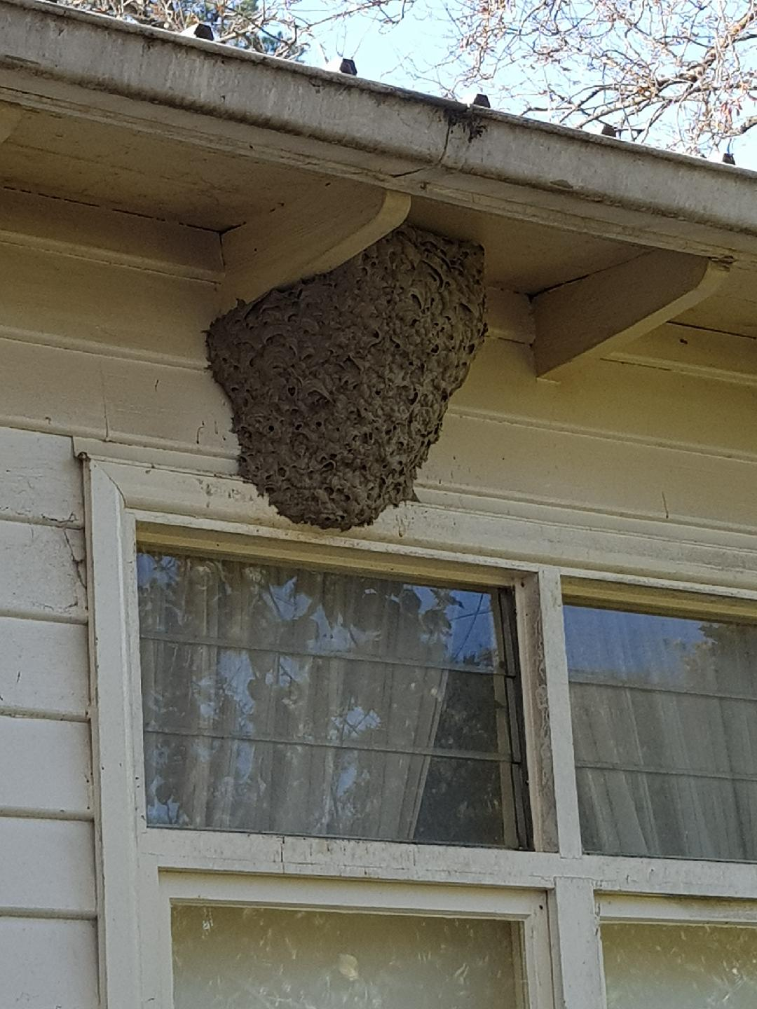 Wasp nest under the eaves
